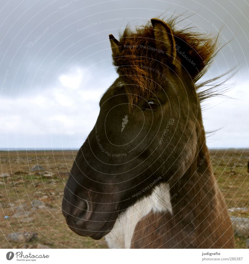 Iceland Environment Nature Landscape Sky Clouds Animal Wild animal Horse Iceland Pony 1 Friendliness Near Curiosity Brown Colour photo Subdued colour