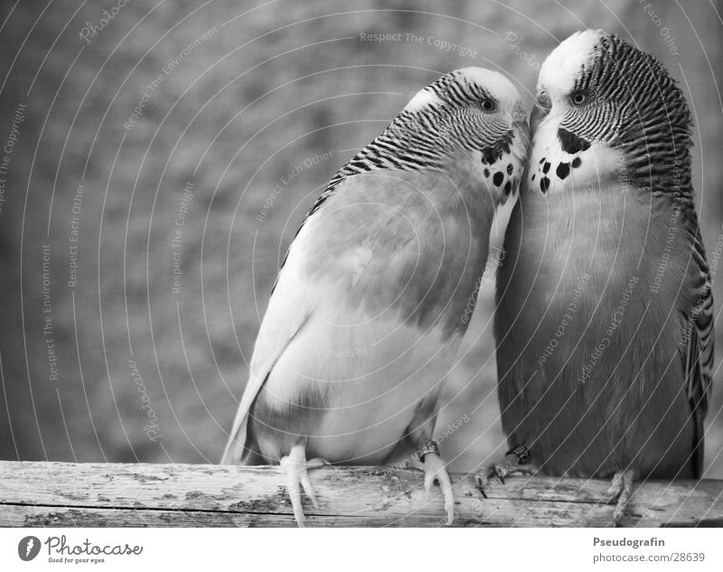 *smooch* Valentine's Day Animal Pet Bird 2 Pair of animals Kissing Love Cute Happy Happiness Contentment Spring fever Sympathy Friendship Budgerigar Beak