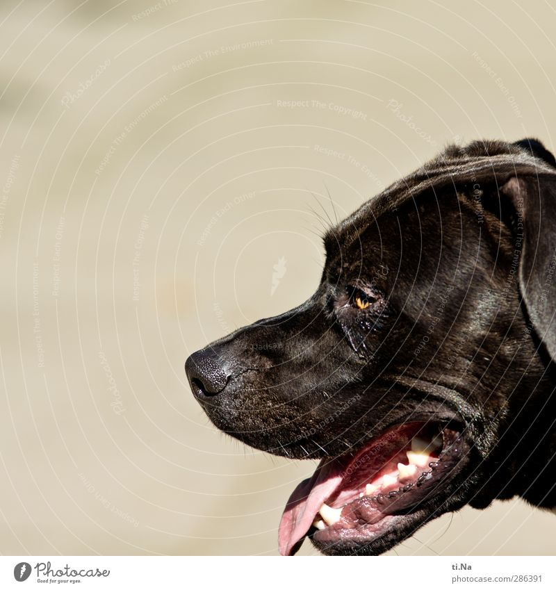 I saved your pain. Pet Dog 1 Animal Breathe Observe Wait Friendliness Muscular Brown Gray Black White Love of animals Colour photo Exterior shot Close-up