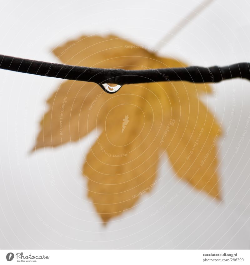 the leaf in the drop Plant Drops of water Autumn Bad weather Fog Leaf Simple Small Wet Yellow Gray Sympathy To console Patient Calm Modest Thrifty Wanderlust