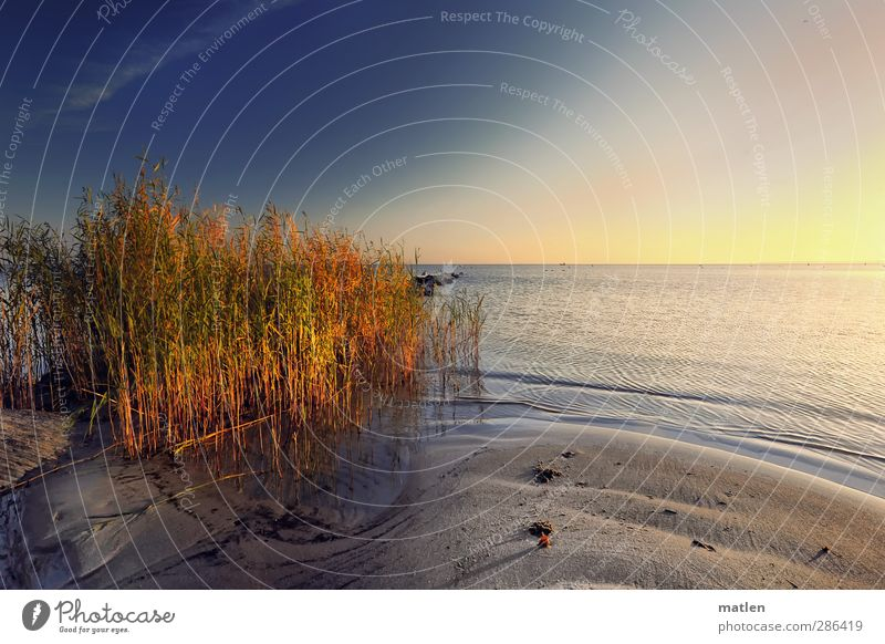 ex oriente lux Landscape Plant Sand Water Sky Cloudless sky Sunlight Autumn Climate Weather Beautiful weather Common Reed Coast Beach Ocean Blue Brown Yellow
