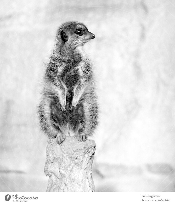 Erdmann looks left. Zoo Wild animal Paw 1 Animal Observe Looking Sit Fat Cuddly Cute Meerkat Black & white photo Exterior shot Deserted Copy Space right