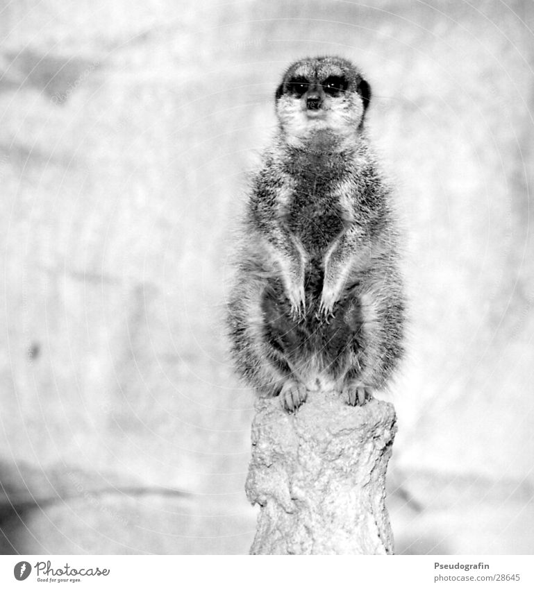 Erdmann looks straight ahead Zoo Wild animal 1 Animal Looking Sit Fat Cuddly Meerkat Black & white photo Exterior shot Deserted Copy Space left