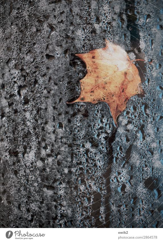 Dry leaflet on wet ground Environment Nature Plant Water Drops of water Autumn Leaf Maple leaf Lie To dry up Old Firm Wet To console Calm Humble Sadness Concern
