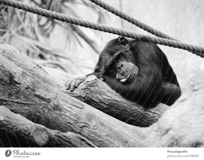 Chimpanzee (sleeps) Rope Zoo Wild animal Pelt 1 Animal Lie Sleep Funny Monkeys Black & white photo Exterior shot Deserted Day Animal portrait