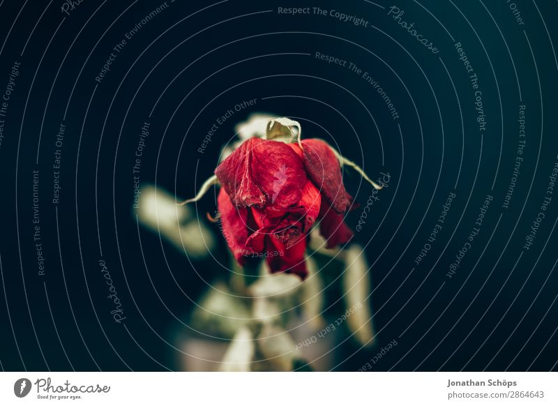 dried rose Drought Rose Old Love Esthetic Broken Divide Transience water scarcity Dark background Dried Copy Space Shriveled Sadness Grief Lovesickness