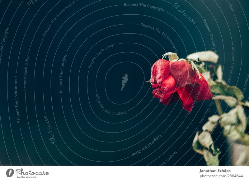 dried rose Drought Rose Old Love Broken Divide Transience water scarcity Dark background Dried Copy Space Shriveled Withered Goodbye Grief Sadness Colour photo