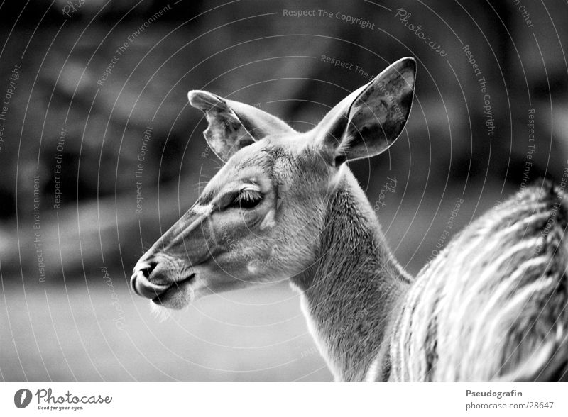*mjam* Zoo Animal Wild animal Animal face 1 Eating Lick Roe deer Tongue Black & white photo Exterior shot Detail Day Shallow depth of field Animal portrait