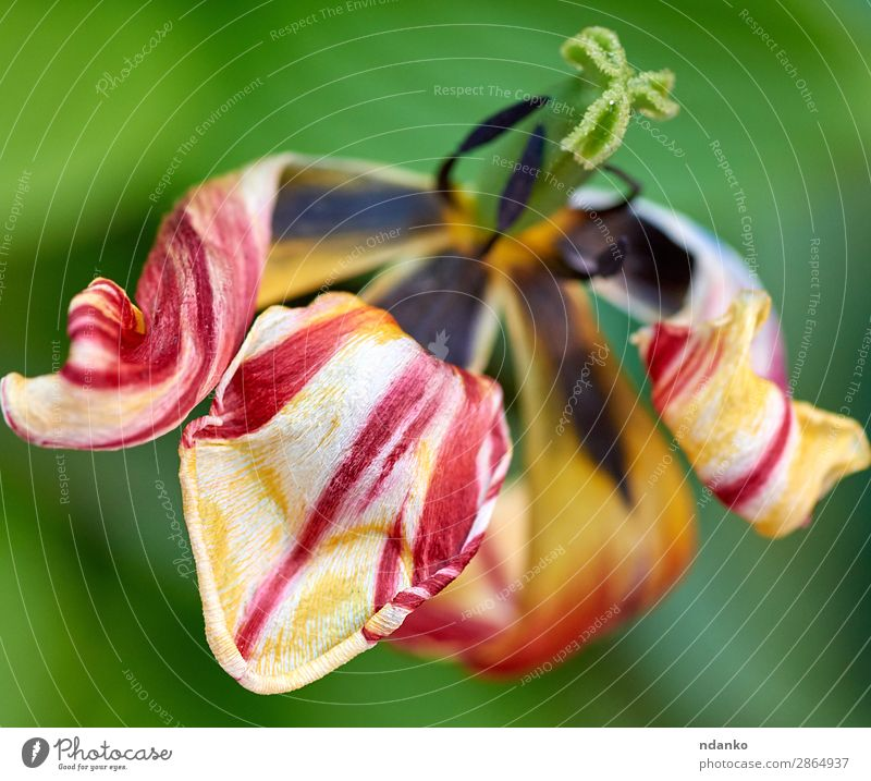 withered multi-colored tulip Summer Garden Nature Plant Flower Tulip Leaf Blossom Blossoming Fresh Bright Natural Above Yellow Green Red Colour background