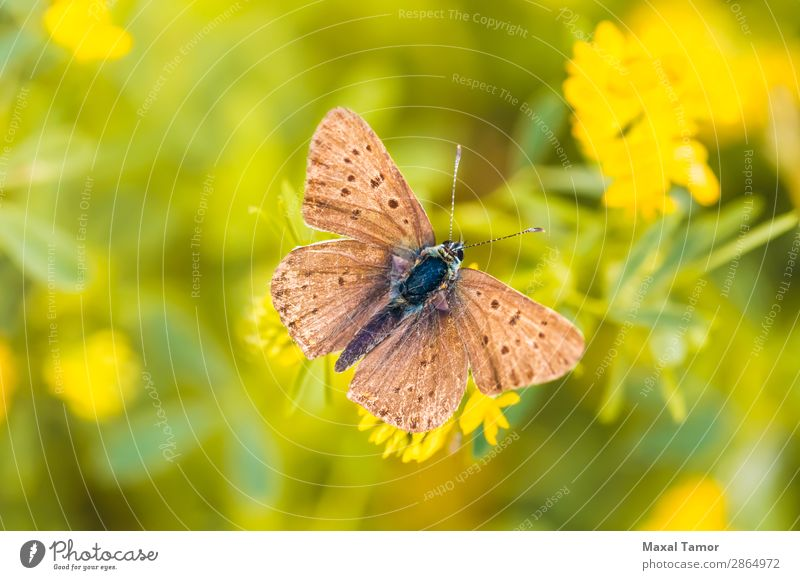 Brown Butterfly Beautiful Summer Nature Flower Meadow Natural Wild Black environmentally light Seasons spots spring wing Close-up Macro (Extreme close-up)