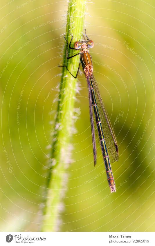 Lestes sponsa female Summer Woman Adults Nature Animal Wing Wild Green Kiev Ukraine Bug carota common common spreadwing Damselfly daucus daucus carota Dragonfly