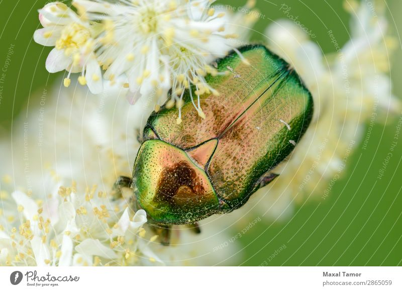 Iridescent Scarab on Flower Nature Animal Beetle Wild Green Red Black White animals arthropod background Bug Clover coleoptera fauna Insect invertebrate