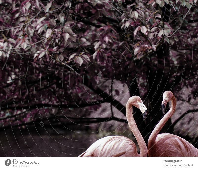 Open Heart Valentine's Day Zoo Animal Wild animal Flamingo 2 Pair of animals Love Thin Pink Infatuation Beak Colour photo Subdued colour Exterior shot