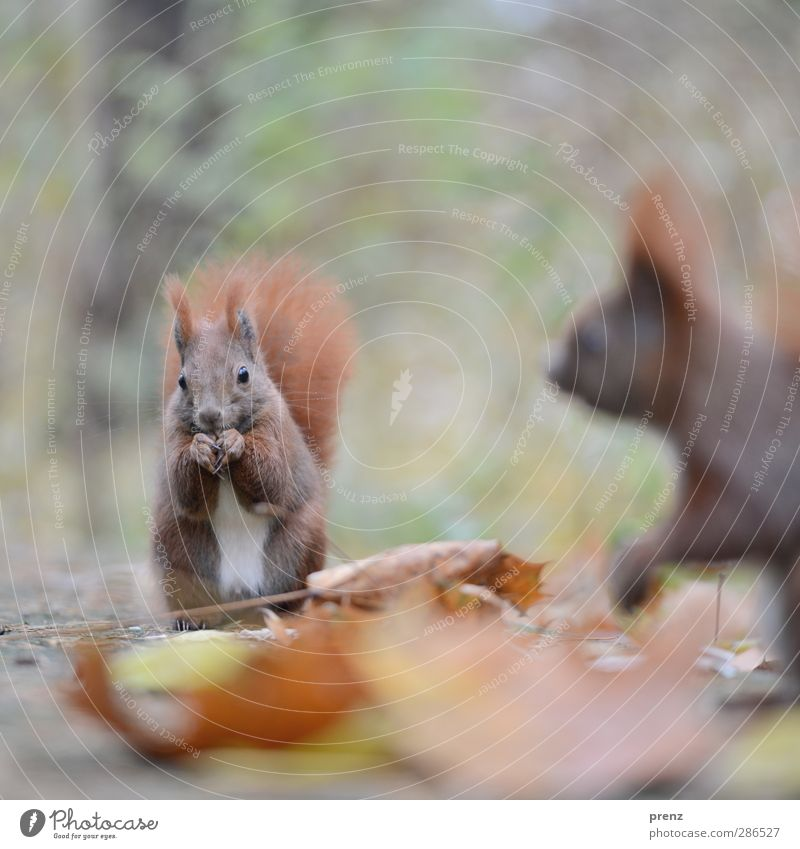 1,5 croissant Environment Nature Animal Wild animal 2 Brown Green Squirrel Rodent Autumn Leaf Exterior shot Deserted Copy Space top Morning