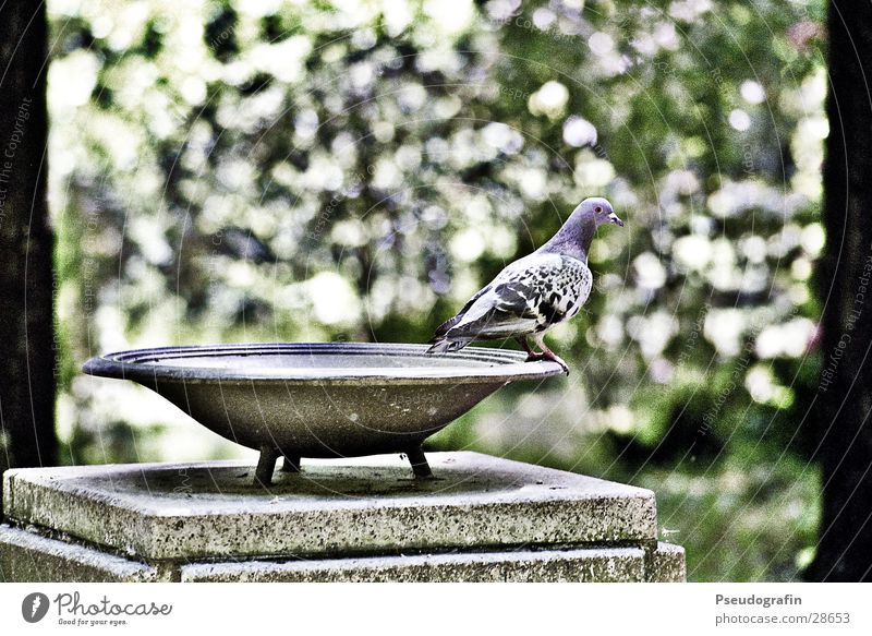 Dove, get ready for takeoff. Bowl Tree Leaf Bird Pigeon Stone Looking Sit Stand Colour photo Subdued colour Exterior shot Deserted Day Shallow depth of field
