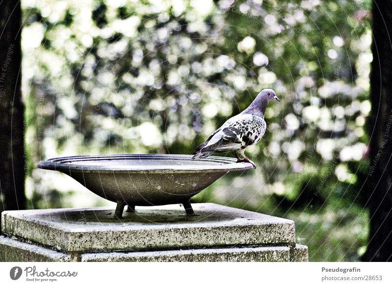 Tree Leaf Stone Bird Sit Stand Bowl Pigeon