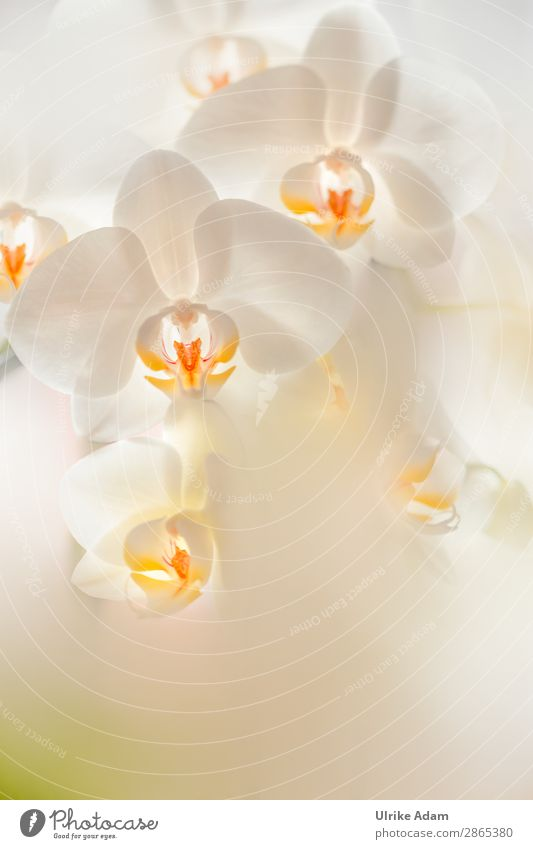 White Orchids - Flowers Elegant Wellness Life Harmonious Well-being Contentment Relaxation Calm Meditation Spa Decoration Wallpaper Feasts & Celebrations