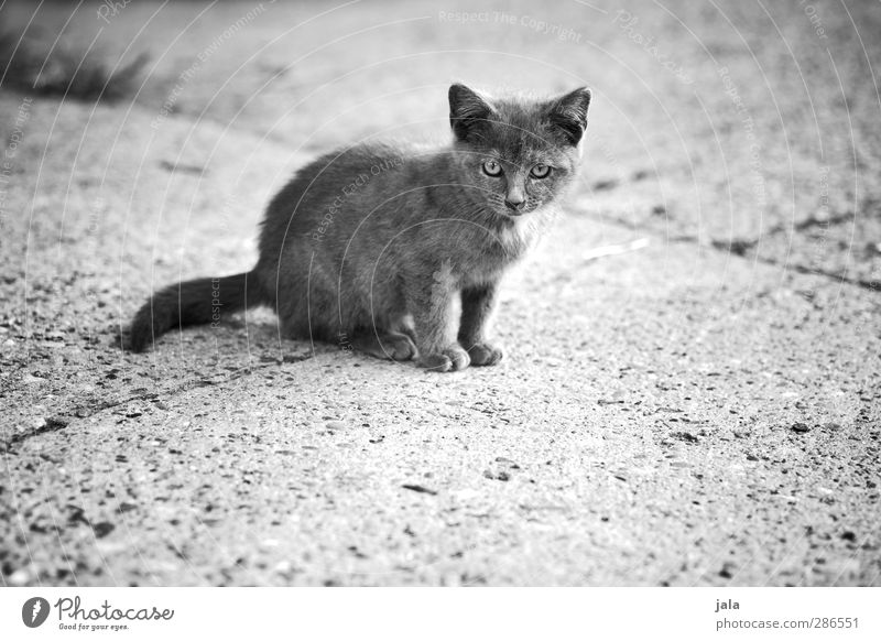 small mauz Animal Pet Cat 1 Baby animal Small Curiosity Cute Black & white photo Exterior shot Deserted Copy Space bottom Day Animal portrait Looking
