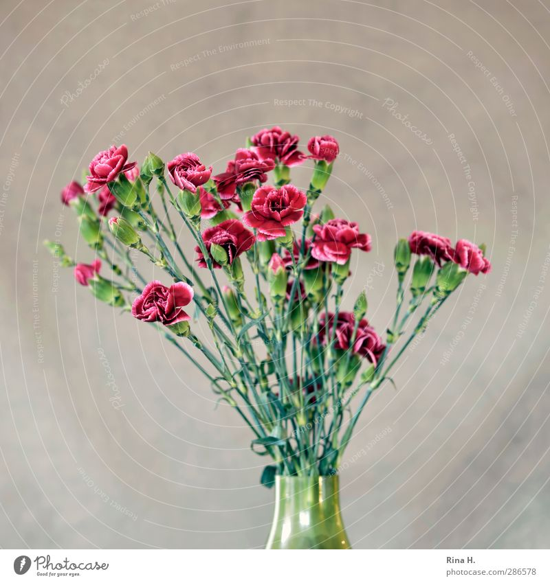Flower vase with carnations Living or residing Blossom Dianthus Blossoming Green Red Vase Old fashioned Bouquet Colour photo Interior shot Deserted