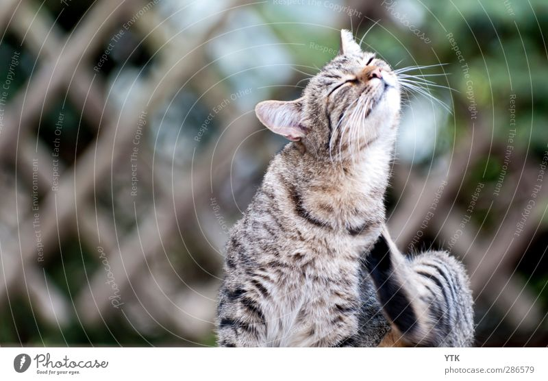 Cat Animal Relaxation Movement Cute Cleaning Contact To enjoy Pelt Ear Animal face Pet Personal hygiene Striped Chic Arrogant