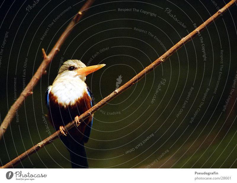 Blue Beautiful Animal Bird Wild animal Happiness Feather Wing Twig Zoo Beak Kingfisher