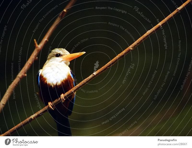 Fogi Zoo Animal Wild animal Bird Wing 1 Happiness Beautiful Blue Kingfisher Beak Feather Twig Colour photo Subdued colour Exterior shot Deserted