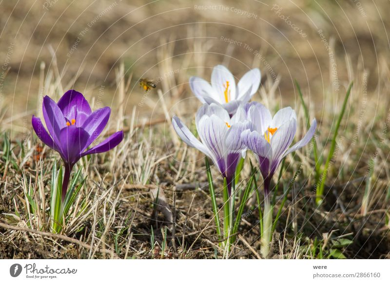 Flowers of spring crocus Nature Plant Blossom Jump Spring fever blossoms animal bee bee pollen beekeeper blooming copy space flowers glow honey insect nobody