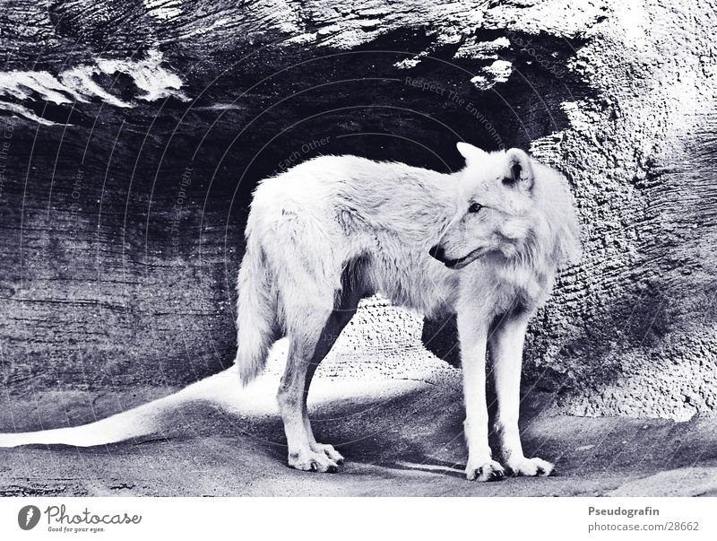 White Sun Animal Stone Rock Wild Wild animal Transport Zoo Wolf