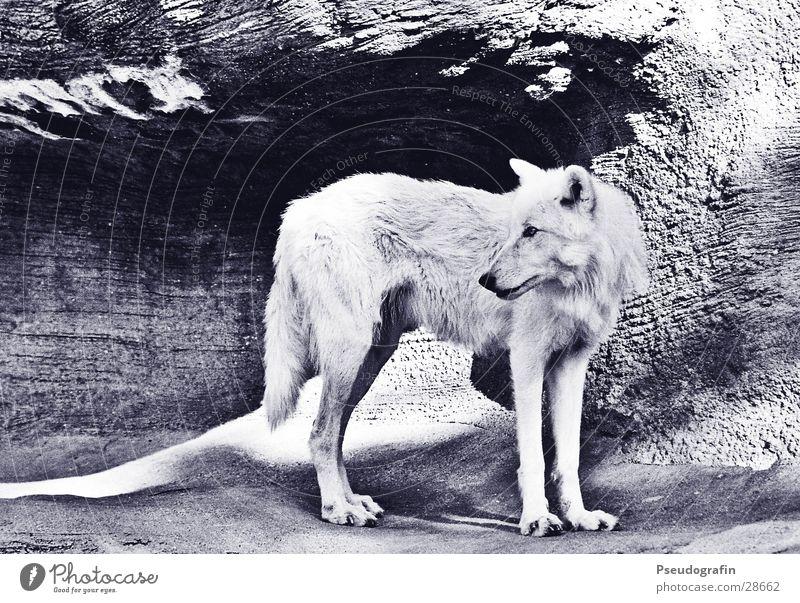 wolf Sun Zoo Rock Transport Animal Wild animal 1 Stone White Wolf Black & white photo Exterior shot Deserted Light Shadow Animal portrait Full-length Profile