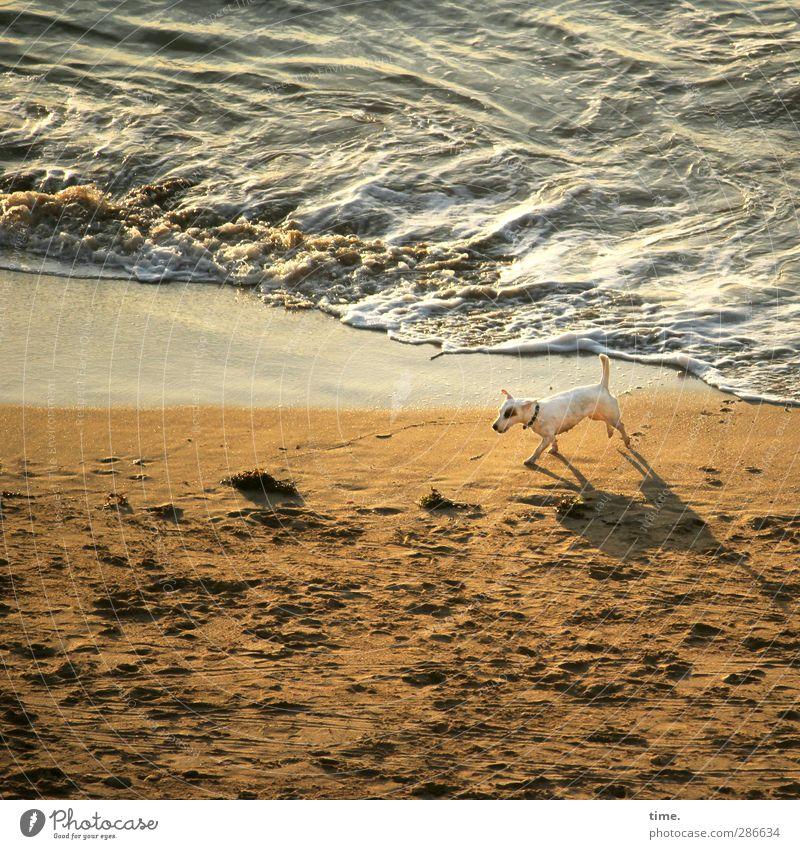 on patrol Sand Water Beautiful weather Waves Coast Beach Ocean Animal Pet Dog 1 Movement Going Walking Threat Wet Watchfulness Serene Calm Vacation & Travel