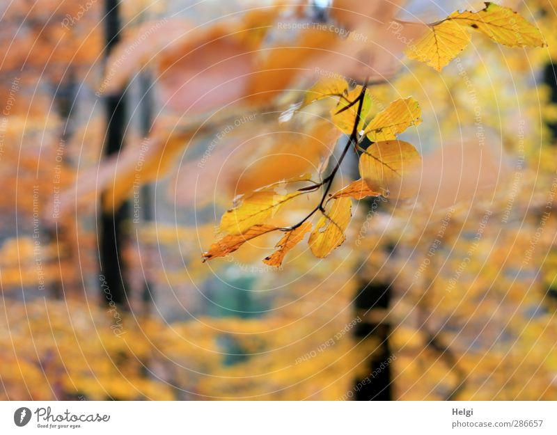 perspicuous Environment Nature Landscape Plant Autumn Beautiful weather Tree Leaf Beech tree Beech leaf Twig Forest Beech wood Hang Illuminate To dry up