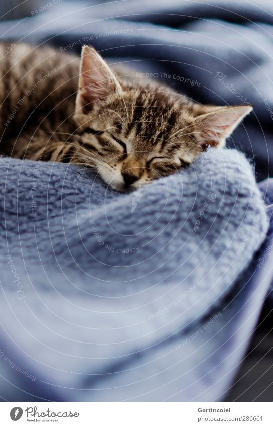 kitten Animal Pet Cat Animal face Pelt 1 Baby animal Sleep Cute Kitten putty Blanket Dream Fatigue Beautiful Smooth Delicate Rest Relaxation Calm Tabby cat