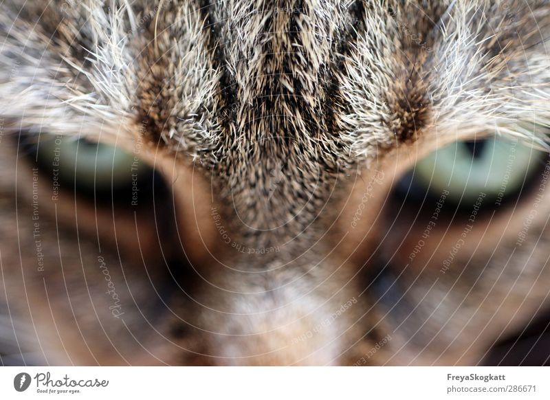 Cat Animal Brown Wait Dangerous Adventure Cool (slang) Pelt Brave Discover Watchfulness Pet Select Smart Experience Patient