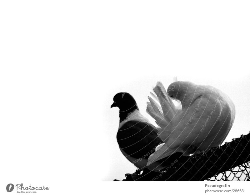Animal Sit Pair of animals Feather Roof Cleaning Pet Pigeon Farm animal Bird Wire netting Black & white photo Homing pigeon