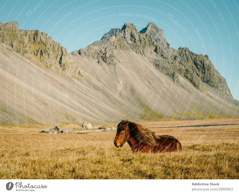 Horse pasturing on field near mountain in sunny day Field Mountain Beautiful weather Iceland Grass Dry Hill Pet Stone Meadow Farm Animal Nature Landscape Sky