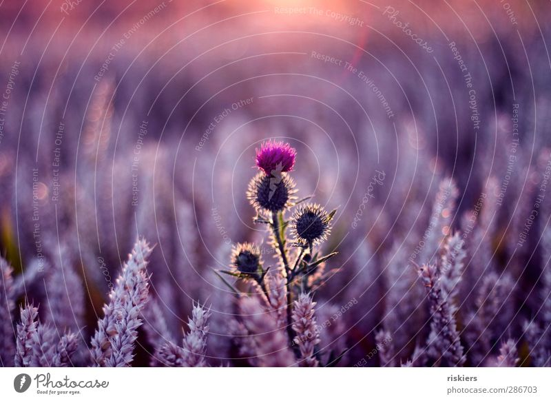 brave heart Environment Nature Landscape Plant Animal Sun Sunrise Sunset Sunlight Summer Beautiful weather Thistle Field Violet Pink Contentment