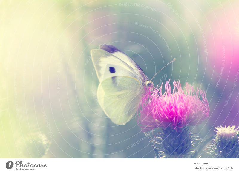 cabbage white on thistle Beautiful Summer Nature Plant Animal Sunlight Spring Flower Blossom Wild plant Meadow Butterfly Growth Green Pink White Thistle Insect