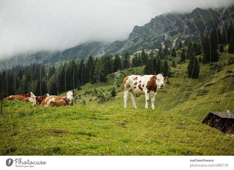 on the mountain pasture Vacation & Travel Mountain Hiking Agriculture Forestry Nature Landscape Plant Animal Summer Grass Meadow Alps Farm animal Cow 4