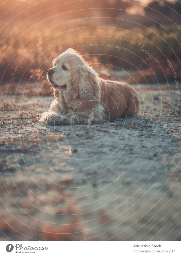 Funny dog lying on ground between plants Dog Ground Plant cocker Earth Resting Lie (Untruth) Sunset Beautiful Animal Pet Grass Purebred Field Nature