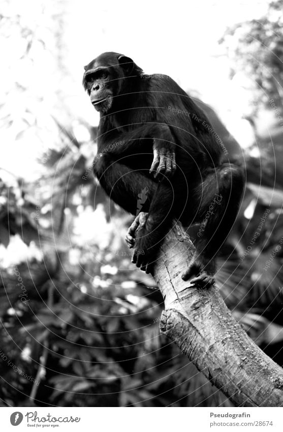 Chimp looking down. Zoo Animal Wild animal 1 Looking Sit Monkeys Chimpanzee Posture Black & white photo Exterior shot Day