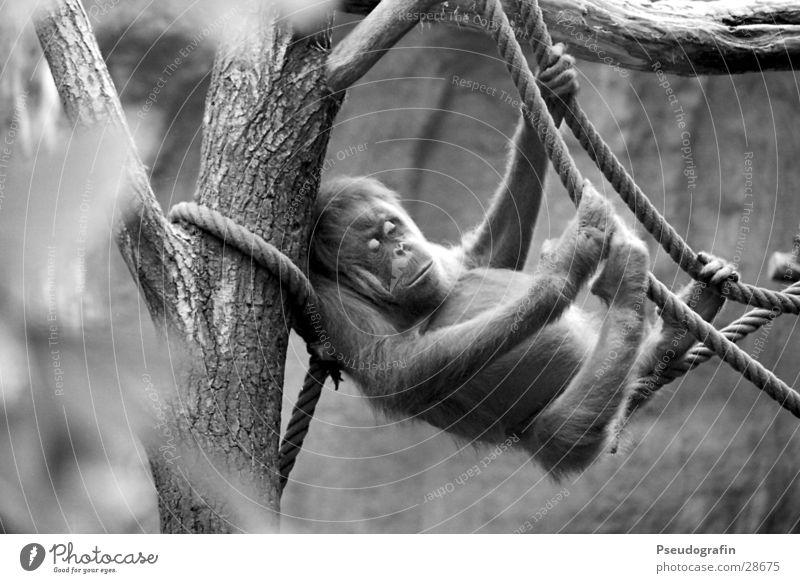 Animal Lie Wild animal Rope Sleep To hold on Zoo Hang Monkeys Apes Orang-utan