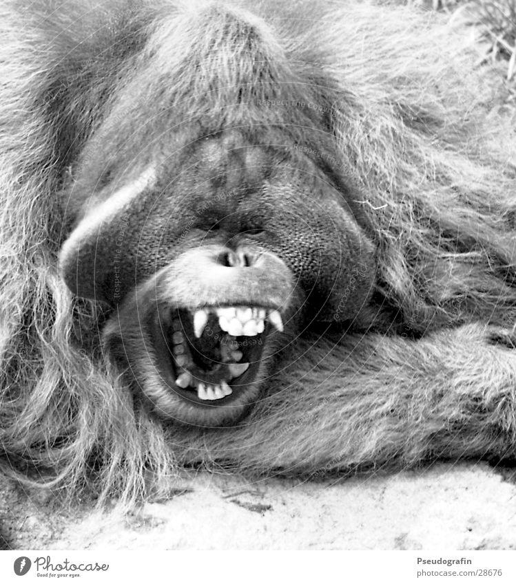*Geeselike* Zoo Animal Wild animal 1 Scream Fatigue Orang-utan Snout Yawn Set of teeth Muzzle Black & white photo Exterior shot Close-up Day Animal portrait