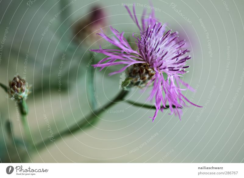 thistle Nature Plant Flower Blossom Foliage plant Wild plant Thistle Meadow flower Blossoming Fragrance Growth Fresh Natural Beautiful Gray Green Violet Purity