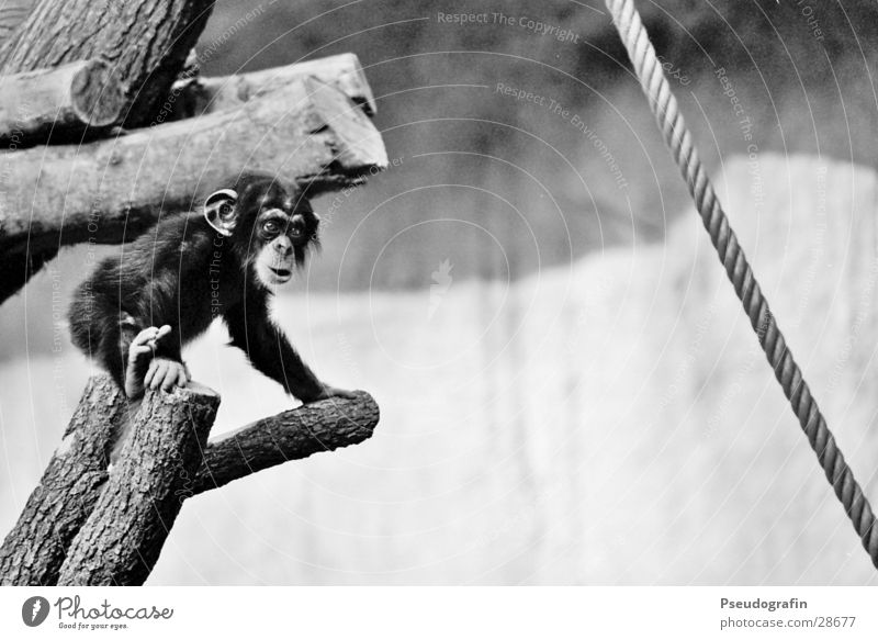baby Climbing Mountaineering Rope Zoo Animal Wild animal 1 Baby animal Observe Movement Discover Cuddly Small Cute Chimpanzee Black & white photo Exterior shot