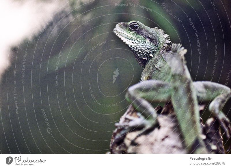 Green Animal Wild animal Friendliness Curiosity Zoo Dragon Tails Reptiles Saurians