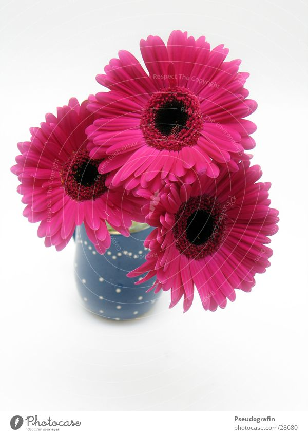 *** Valentine's Day Mother's Day Plant Summer Flower Bouquet Pink Red Vase Gerbera Colour photo Multicoloured Interior shot Deserted Neutral Background