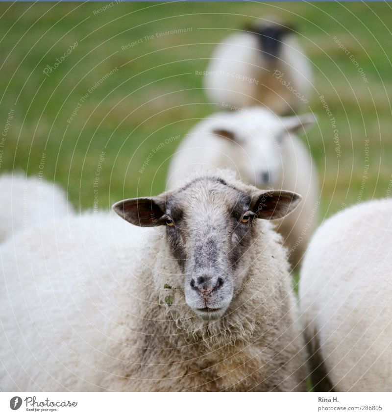 Standing in line Nature Autumn Meadow Pet Farm animal Sheep 4 Animal Wait Natural Looking Queue Colour photo Exterior shot Deserted Shallow depth of field