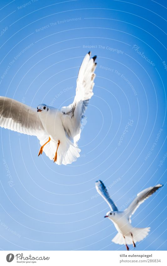 and take off. Air Sky Cloudless sky Wild animal Bird Seagull 2 Animal Flying Natural Blue Wing Floating Judder Above Colour photo Exterior shot Animal portrait