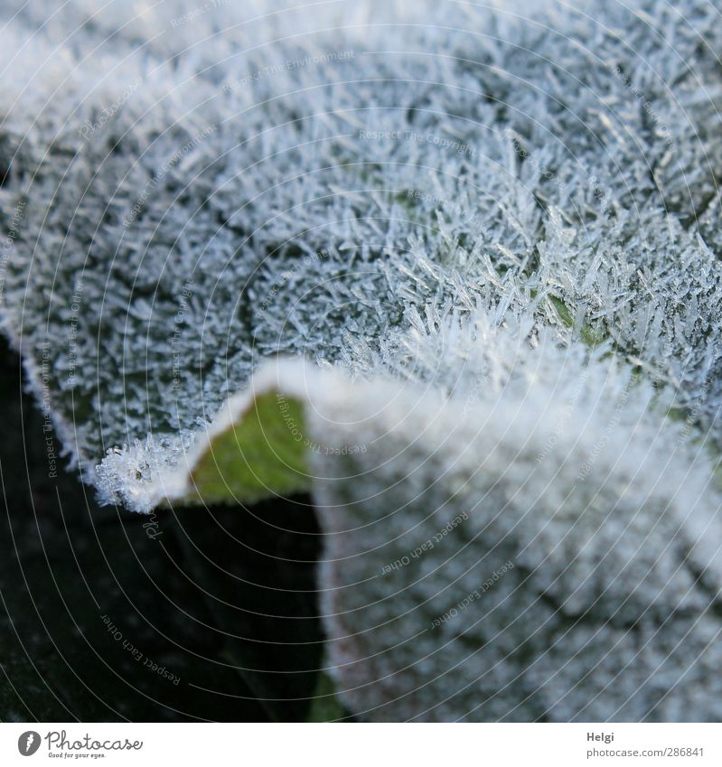 icy fur... Environment Nature Plant Autumn Ice Frost Leaf Freeze Glittering Lie Esthetic Authentic Exceptional Cold Small Natural Gray Green White Bizarre