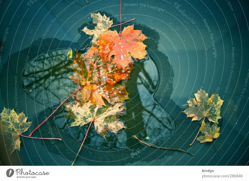 small autumn puddle Water Autumn Maple leaf Illuminate Faded Esthetic Exceptional Uniqueness Change Puddle Autumn leaves Autumnal Reflection Surface tension